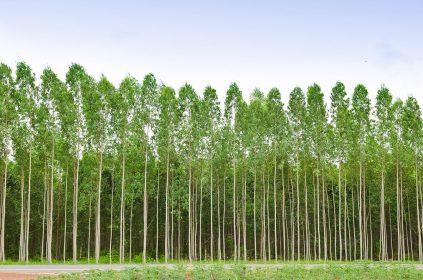 La medición de eucalipto y madera para pulpa